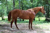 12  year old Mare