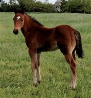 colt by King stallion