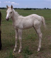 2019 Palomino Filly by WILDFIRE