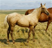 Weanling  year old Stallion