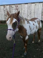 11  year old Mare